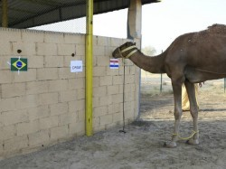 Meet Shaheen And Waslawi Your World Cup Predicting Camels